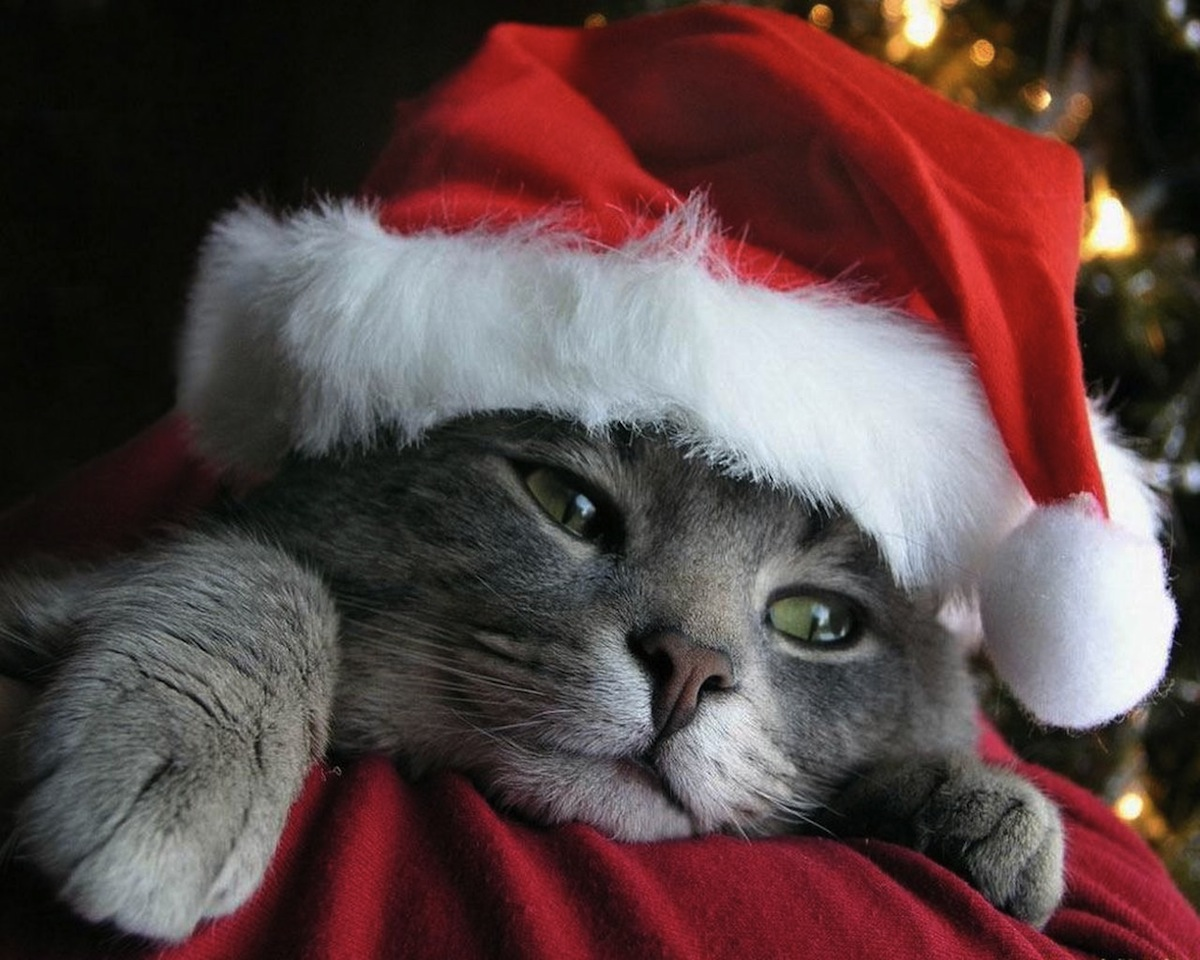 cats-wallpapers-holiday-christmas-cat
