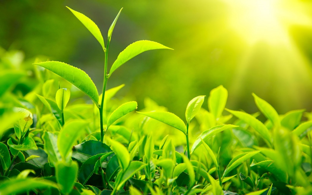 fresh-green-tea-leaves-sunlight_0