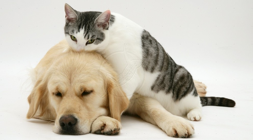 Cat-Golden-Retriever