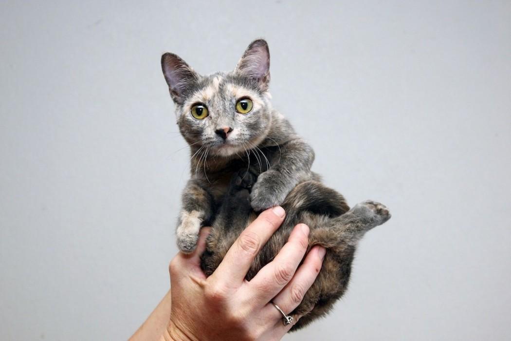 Worlds-shortest-cat