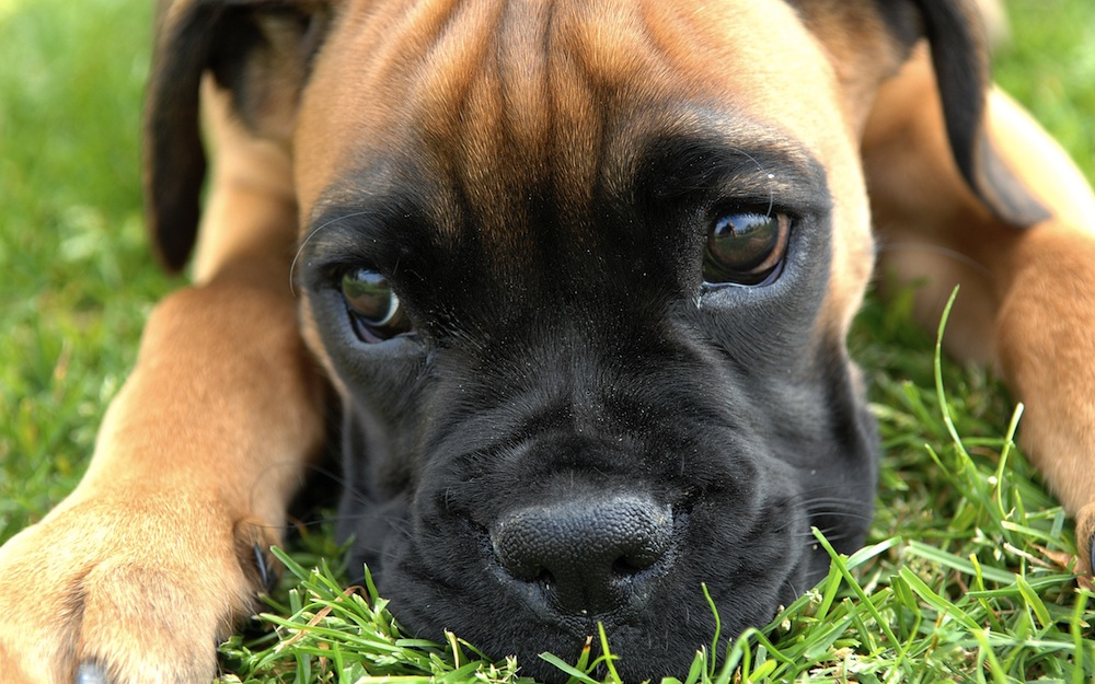 animals-dogs-boxer-dog-HD-Wallpapers