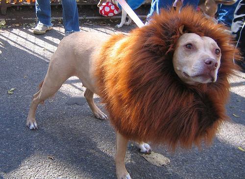 13-dog-costume-lion