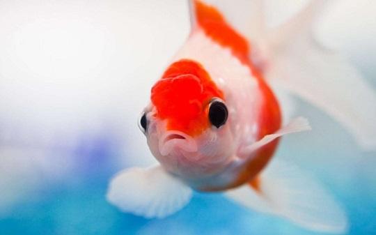 Excellent-Aquarium-Red-Fish-HD-desktop-wallpaper