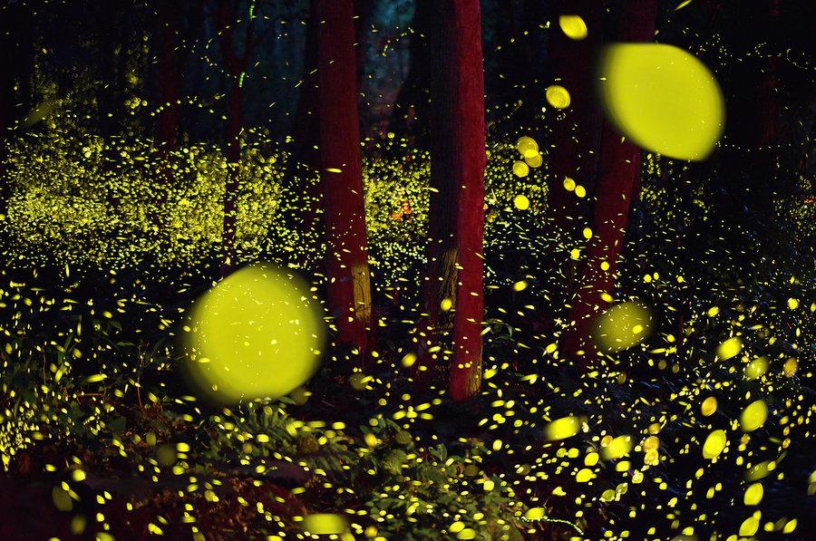 fireflies-7