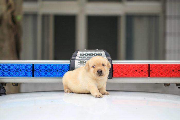 puppy-k-9-police-dogs-taiwan-police-10-594105d3cebc3__700