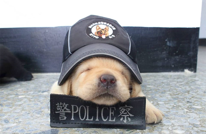 puppy-k-9-police-dogs-taiwan-police-14-594105795c7f5__700