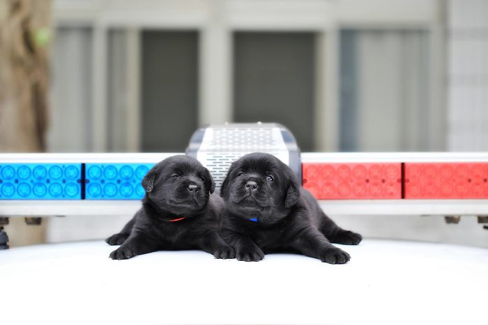 puppy-k-9-police-dogs-taiwan-police-3-594105ca3c95c__700